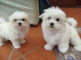Los cachorros maltés para su aprobación