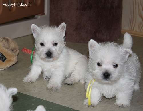 Westy venta comprar cachorro perro