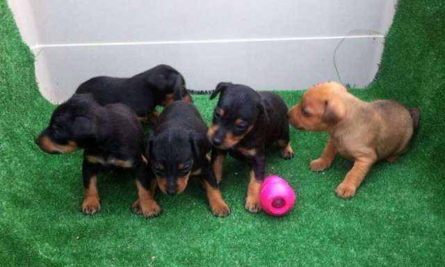 Pinscher miniatura cachorros nacionales una pasada