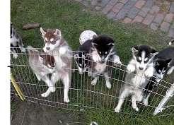 Cachorros husky siberianos urgente bella