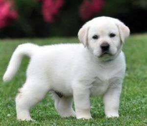 Regalo lindo labrador cachorros para adopcion. teruel