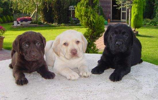 Cachorros labrador retriever con pedigree