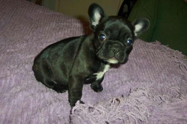 Regalo magnífica camada bulldog france en adopcion gratis.son de extrema calidad, muy cabezona y chata, auténticos bellezones. los entregamos con todas las vacunas en regla, desparasitados, con chip y