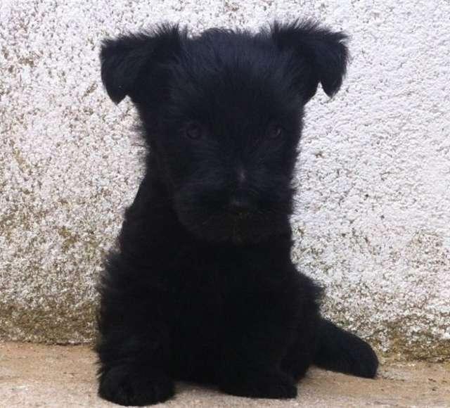 Scottish terrier preciosos cachorros con pedigri.