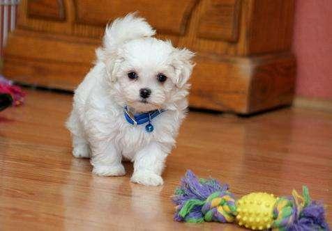 Tenemos cachorros maltés magníficos y entrenados para su aprobación