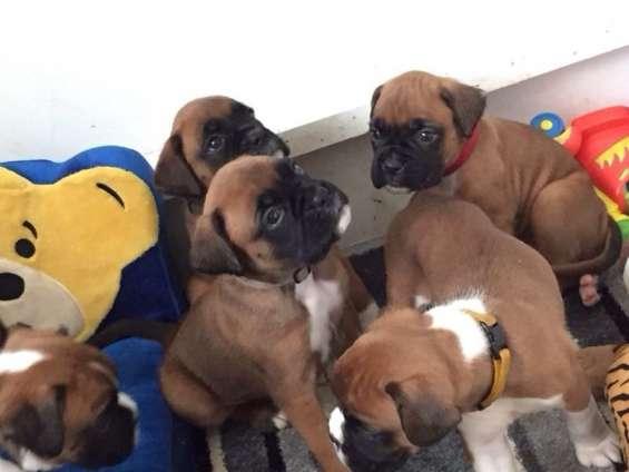 Cachorros boxer machos y hembras