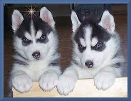 Cachorros husky siberiano para su aprobación