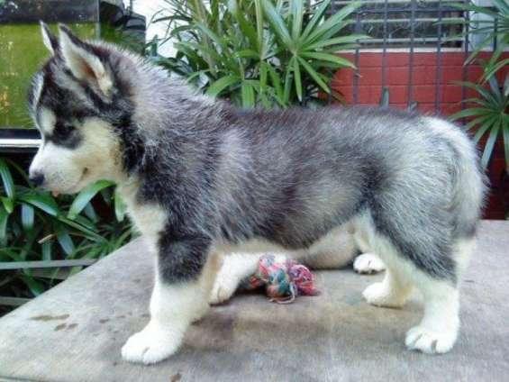 Marrón husky cachorro con los ojos azules listos para la adopción