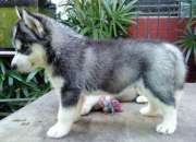 Marrón husky cachorro con los ojos azules listos …