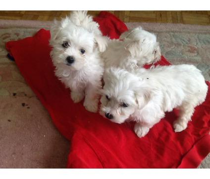 Taza de té cachorros maltés lindo para adopción