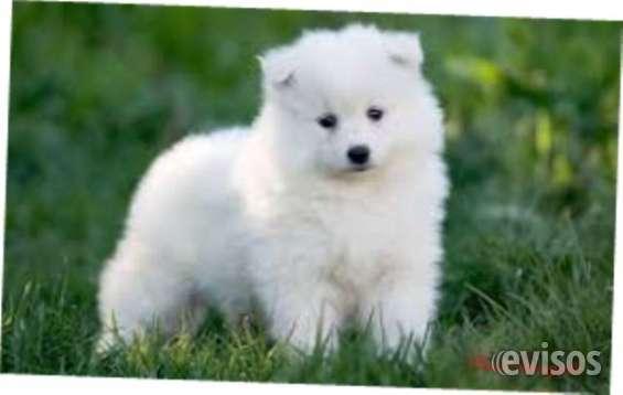 Cachorros samoyedo para los hogares lindos. ellos son libres para su aprobación. debido a