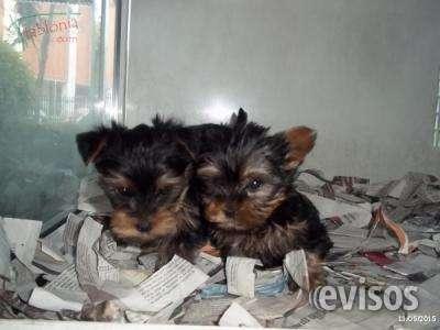 Preciosos cachorros de yorkshire, calidad y garantia