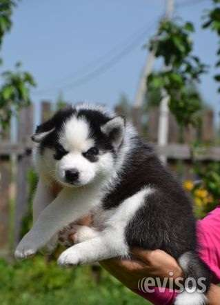Regalo macho y hembra cachorros de husky siberiano
