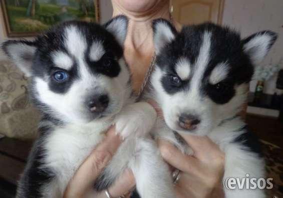 Husky siberiano cachorros para nuevas viviendas
