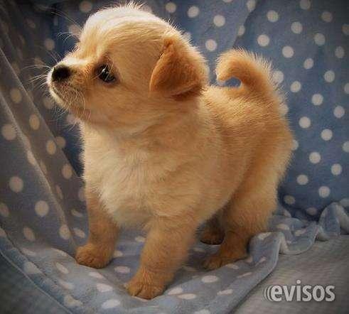 Cachorros toy de yorkshire terrier