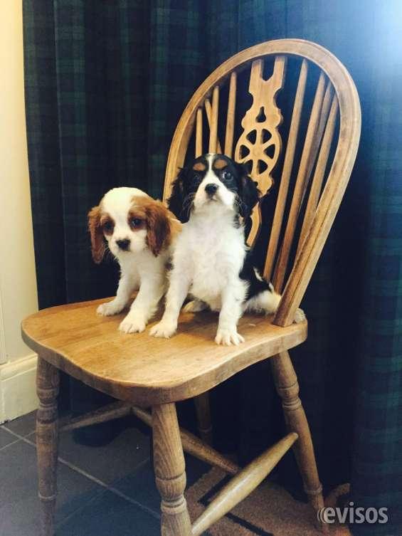 Cachorros cavalier king charles spaniel listo.