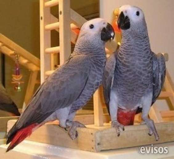 Loros yaco papillero para la adopción