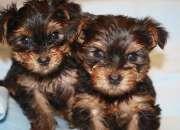 Alava Regalo Cachorros de Yorkshire Terrier