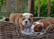 Adorables cachorros bulldog ingles para aprobacio…