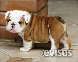 Amorosa cachorros de bulldog inglés para su aprobación.
