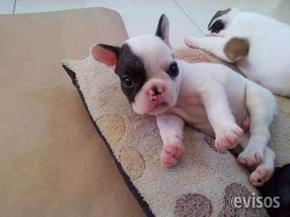 Bulldog frances cachorros en venta