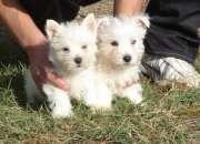 Cachorros westy disponibles