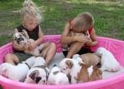 Tres bulldog inglés cachorros necesitan un hogar.