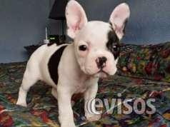 Regalo bulldog frances en adopcion gratis