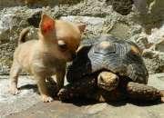 Regalo los cachorros macho y hembra de chihuahua …