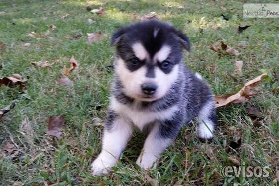 Cachorros blue eye siberian husky