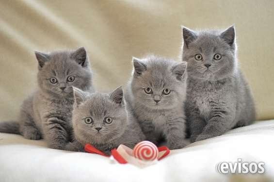 Camada de british shorthair gatitos