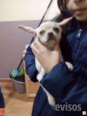 Chihuahua cachorros para su aprobación