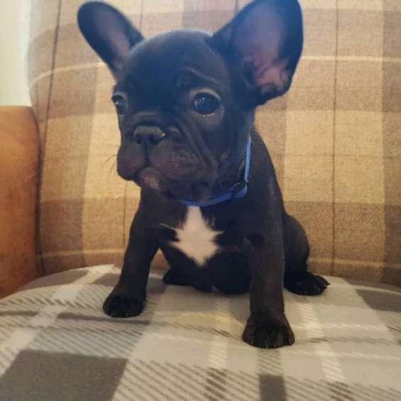 Bulldog inglés listo para una nueva casa