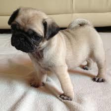 Pug carlino cachorros para su adopcion