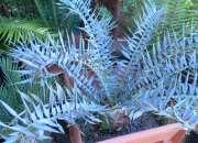 Comprar plantas y semillas de encephalartos raras…
