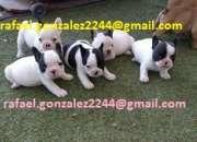 Dbusco cachorros bulldog francés que regalen