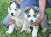 A encantadores ojos azules cachorros de husky sib…