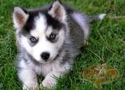Ssincreíble y hermosa cachorros de husky siberian…