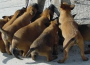 Cachorros de Pastor Belga Malinois, GRATIS