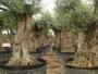 Olivos Cultius Calafell