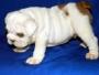 Cachorro de Buldog de inglés   para adopción