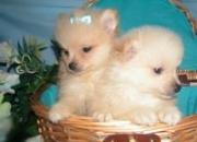 dos cachorros Pomeranian encantadores para adopción