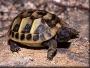 Vendo differente tortugas de tierra -cultivar particular