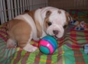 Bulldogs cachorros querer adopción