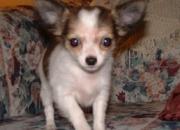 Chihuahua cachorro hembra para la venta