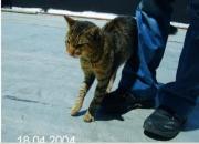 Gatito gaditano, necesita o adopción urgente acogida