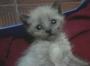 Shiba preciosa cachorrita de dos semanas y media