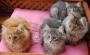 Vendo gatitos Bosques de Noruega 655402559