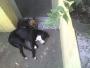 Vendo cachorra pitbull-stafford de 8 meses