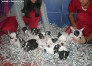 Cachorros de Bulldog Frances y otras razas